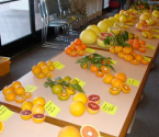 Citrus Tasting and Display
