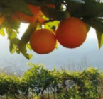 La Verne Orange Picking